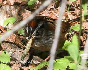 PPL Wetllands sparrow April 24 2016 -2