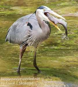 Doylestown blue heron fish-5