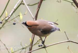 PPL Wetlands  birds cedar waxwing -1