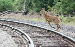 Penrose railroad deer -2