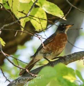 PPL Wetlands robin-1