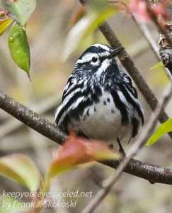 State game lands 119 black-and-white-warbler -12