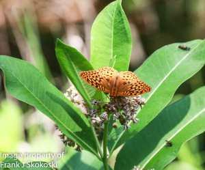 Aphrodite frlittiary butterfly on milkweed flower.
