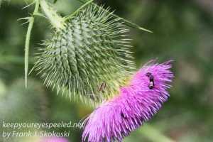 thistle flower in bloom