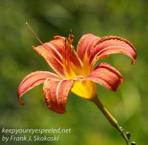 close up of day lily flower