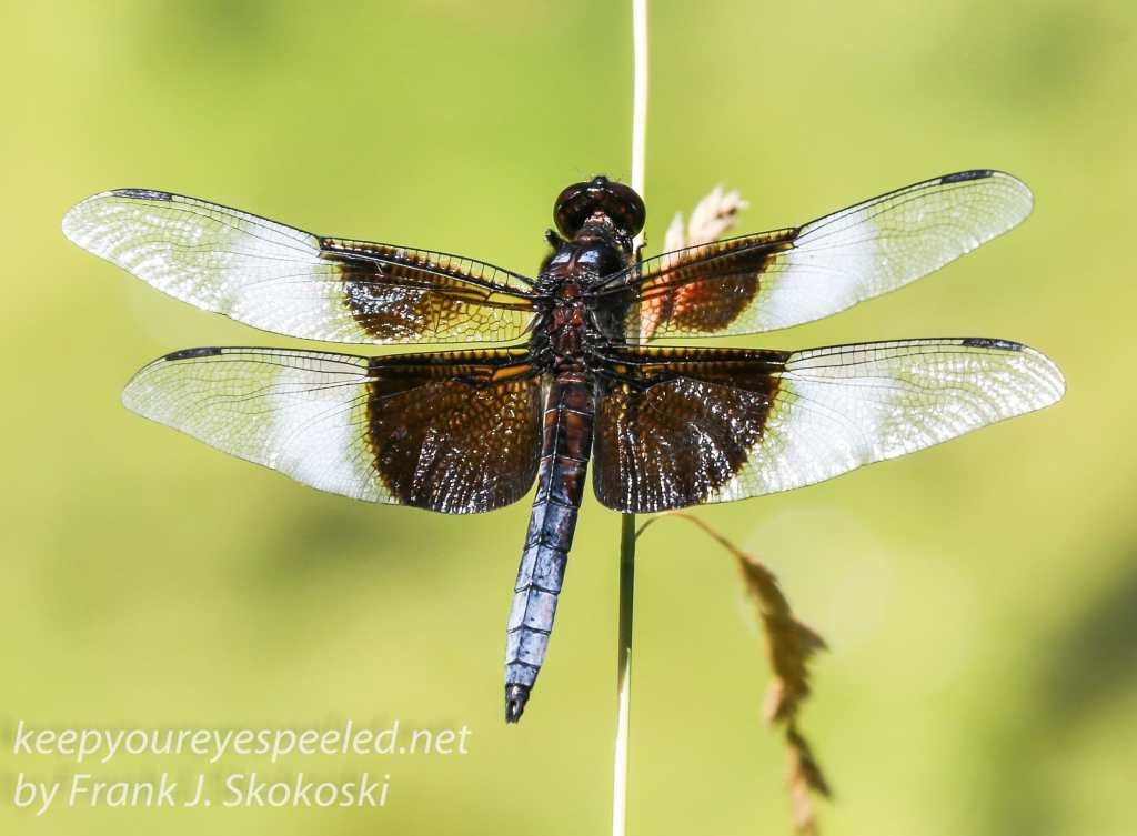 PPL Wetlands dragonflies -211