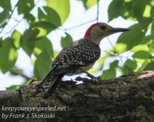 red-bullied woodpecker on branch