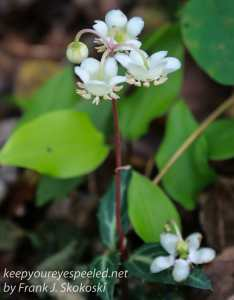 wintergreen flower