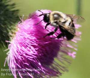 bee on bull thistle flower