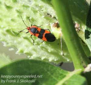 insect on milkweed