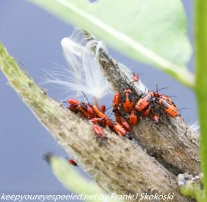 insects on milkweed pod