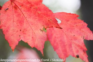 bright red maple leaves