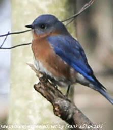 blue bird on tree branch