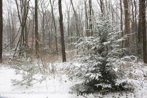 snow covered woodlands