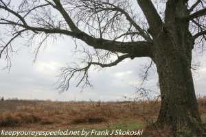 old leafless tree on trail in Valley Forge