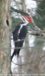 pileated woodpecker on tree trunk