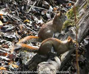 pair of red squirrels