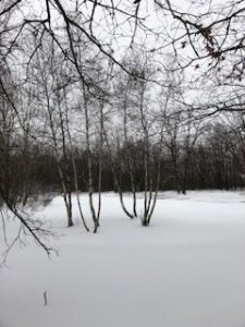 bare birch trees and snow