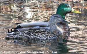 male and female mallard ducks on water