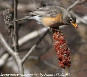 robin feeding on staghorn sumac