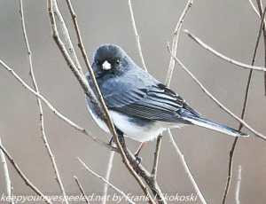 dark eyed junco on branch