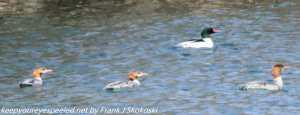 common merganser on lake