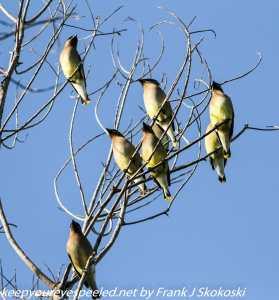 waxwings in tree