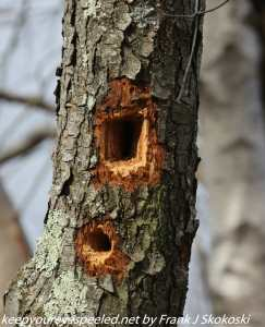 holes in tree made by woodpecker