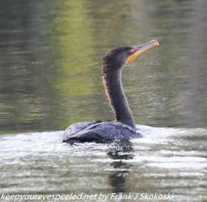 anhinga swimming in lake