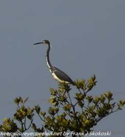 tri-colored heron in tree
