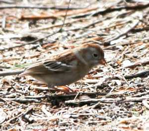 filed sparrow on ground