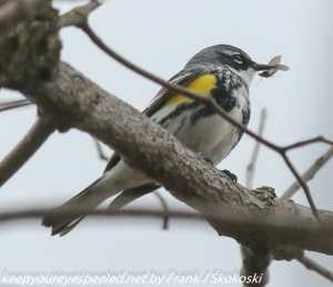 yellow rumped warbler with insect in beak