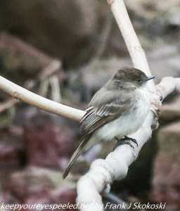 eastern phoebe in tree