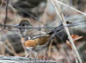 eastern towhee in brush