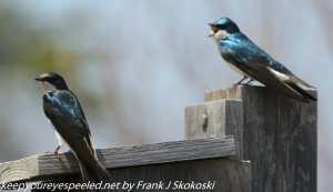 pair of swallows on bird house