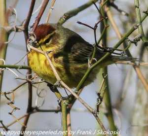 palm warbler on branch