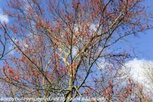 budding red maple tree