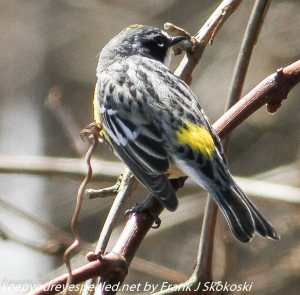 yellow rumped warbler on tree