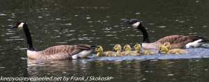 geese and goslings on lake