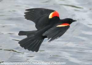 red winged blackbird in flight