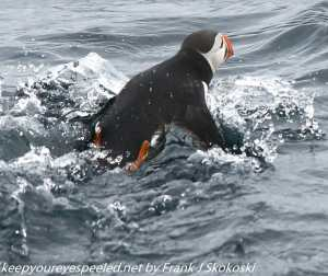 puffin in water