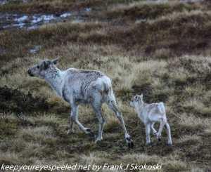 reindeer and calve