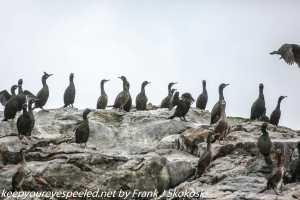 shanks and cormorants on rocky island