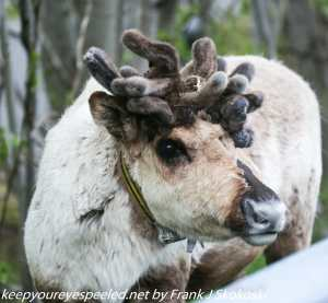 reindeer with many antlers