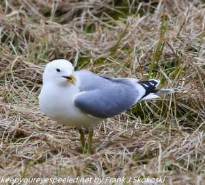 seagull in grass