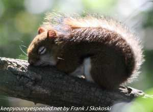 red squirrel sleeping