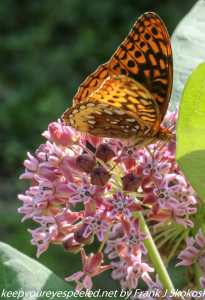 butterfly on milkweed flowers