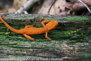 eastern or red spotted newt on log