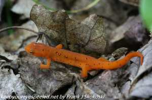 eastern spotted newt