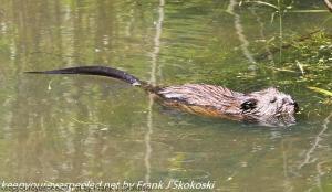 baver in pond